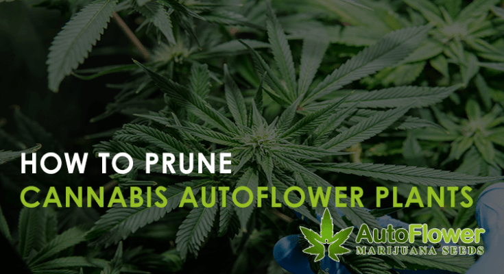 prune cannabis autoflower plants