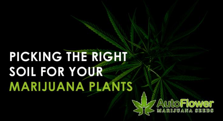 potting soil for marijuana plants
