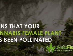 pollinated female cannabis plant