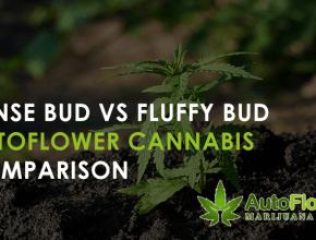 dense vs airy buds