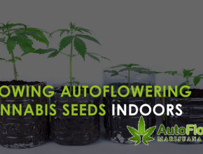 autoflowering cannabis seeds indoors