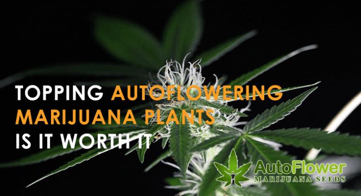 topping autowering marijuana plants
