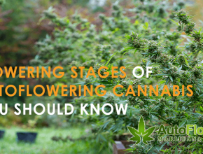 flowering stages autoflowering cannabis