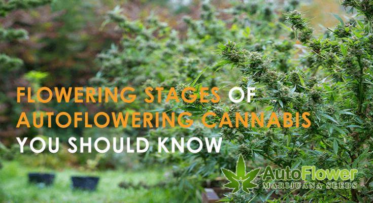 flowering stages autoflowering cannabis