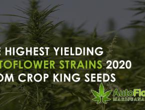 highest yielding autoflower strains 2020