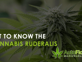 what Is cannabis Ruderalis.