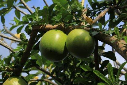 un arbre testiculaire