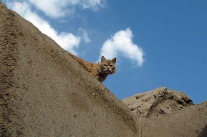 un chat persan :)