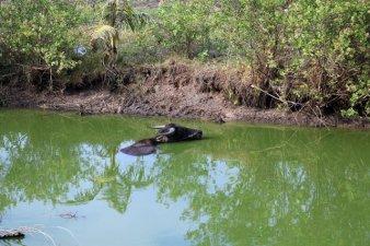 baignade pour une vache sur l'île des marais salants tout près de Kampot, ses habitants se prêtent volontiers à la photo