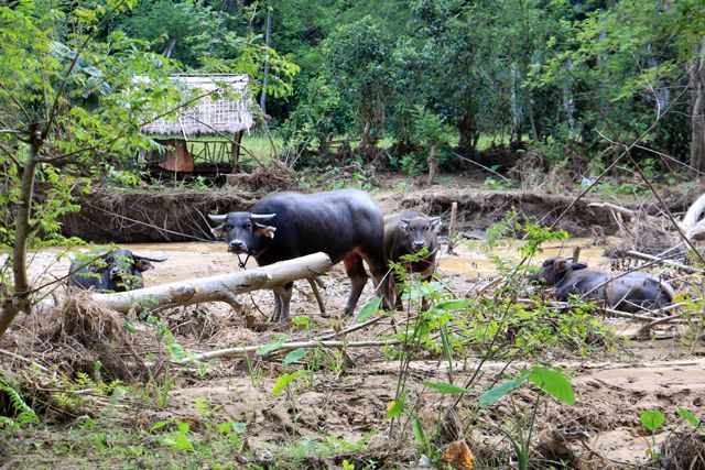 oh la vache, à Nong Khiaw - l'autre ailleurs, une autre idée du voyage