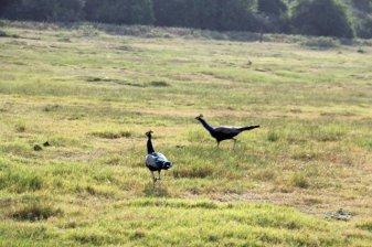 paons en liberté dans la réserve de Kadula National Park, mon premier safari photos - l'autre ailleurs au Sri-Lanka, une autre idée du voyage