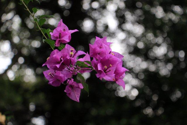 un peu de poésie florale avec cette jolie fleur à Kandy - l'autre ailleurs au Sri-Lanka, une autre idée du voyage