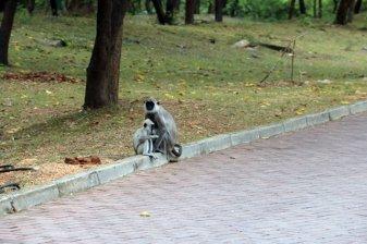 singes sur le site archéologique de Polonnâruvâ - l'autre ailleurs au Sri-Lanka, une autre idée du voyage