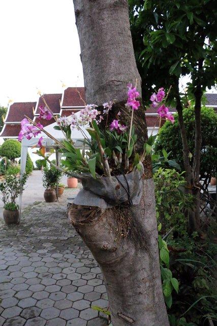 orchidées sur un arbre à Chiang Mai - l'autre ailleurs au Myanmar (Birmanie) et Thaïlande, une autre idée du voyage