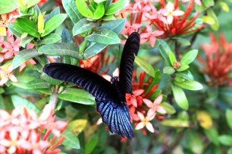papillon dans le jardin de mon hôtel à Kin Pun tout près du site du rocher d'or (Golden Rock) au Myanmar - l'autre ailleurs au Myanmar (Birmanie) et Thaïlande, une autre idée du voyage