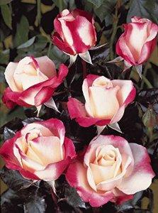 20 Rosiers buissons 'Nostalgie'®