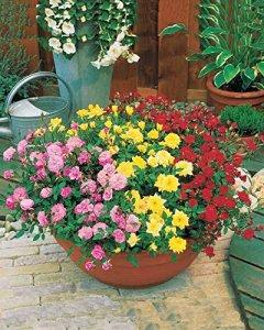 Collection de 3 mini-rosiers pour balcon : 1 rose + 1 jaune + 1 rouge