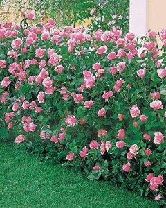 40 Rosiers 'Queen Elisabeth' roses