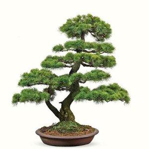 Doubleer 30Pcs/bag Japanese Cedar Seeds Bonsai Tree Seeds Home Garden Decoration Plants