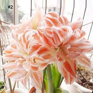 Ncient Graines de fleurs – Hippeastrum Seeds – Graines Semence Rutilum Graines Bonsai Accueil Jardin Balcon Plantes (50 pcs)