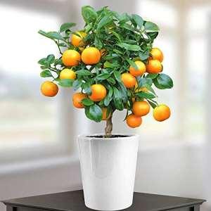 Oranger 40cm avec fruits – 1 arbre