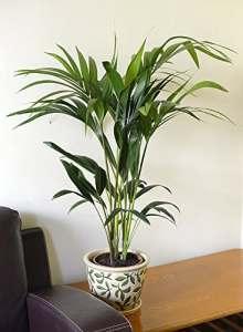 Plante d'intérieur – Plante pour la maison ou le bureau – Kentia (Howea forsteriana) – Palmier Kentia, 70cm de haut.