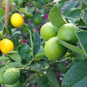 ZEARO 10 PCS Graines de Lemon Parfumé Graines Fleurs Parfumées Lemon Seeds Jardin