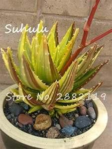 50 pcs graines jaune Aloe Succulent bonsaïs graines herbes rares graines de reine d'aloe vera plantes de jardin diy maison facile à cultiver 16