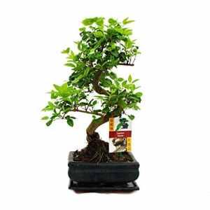 Troène chinois – Ligustrum sinensis de bonsaï – 6ans