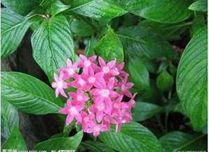 100 Pas/Sac 100% naturel Rauvolfia Serpentina Graines Plantes Herbes des semences Bonsai Pot de jardin
