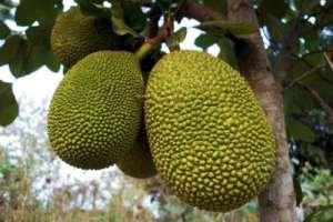 Jaquier (plantule) des arbres fruitiers tropicaux