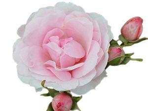 Rosier buissonnant classique – Variété «Silver Anniversary» (rosier hybride de thé), hauteur 1,5m