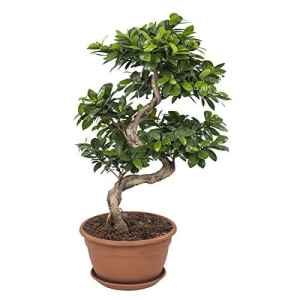 FloraAtHome – Plante verte – Ficus Ginseng Bonsaï – 70cm env.