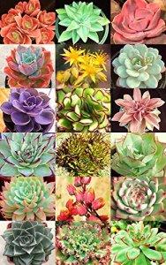 POULES ET POUSSINS mélange de variétés rares Joubarbes la floraison des graines succulentes – 20 graines
