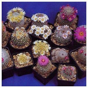 Tropica – cactus – mélange Mammilaria – 100 graines