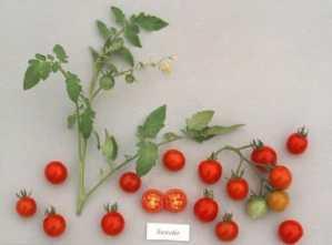 35 graines de tomates Heirloom Chérie légumes non OGM Ez croissance CombSH L34