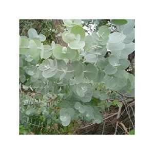Eucalyptus – Eucalyptus gunnii – Pot de 1,5L (diamètre 15cm)