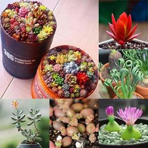 Graines Succulents Mixtes Plantes Grasses 100pcs
