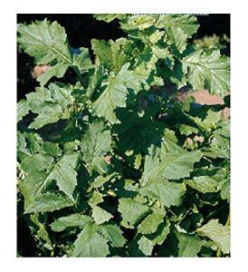 Black Mustard Seeds – Brassica nigra – Dans l'emballage d'origine – Fabriqué en Italie – C.ca