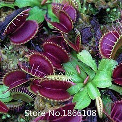 cat gorie flytrap seed bonsai potted dionaea muscipula. Black Bedroom Furniture Sets. Home Design Ideas