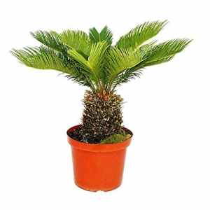 Cycas revoluta – Japanese Palm Fern – 28cm Pot