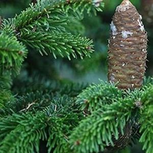 Farmerly Silver Fir Tree Seeds (Abies Alba) 15+Seeds