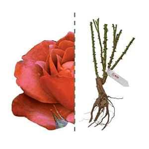 Hot Cocoa®, rose à racine nue de Rose Barni ®, plante de rose rouge, jaune et chocolat, plante de rose buisson, pour frontières et culture en pot, floraison jusqu'à l'automne cod. 02049