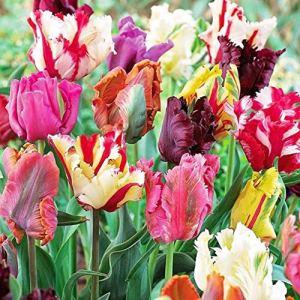AGROBITS 100P: 200X couleurs mélangées Belles rares tulipe perroquet bulbes Graines jardin Décor plante