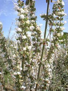 Asklepios-seeds® – 1000 graines de Salvia apiana,Sauge blanche