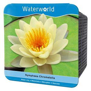 BOTANICLY | Plante aquatique – Waterworld Nénuphar jaune dans l'ensemble aquatique complet (nénuphar, panier d'étang, gravier, terreau et engrais pour plantes) | Hauteur: 10 cm | Nymphaea Chromatella