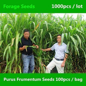 Shopvise Famille Poaceae Purus Frumentum 100Pcs, fourrage de Zea Mexicana à croissance rapide, herbe de maïs mexicaine annuelle