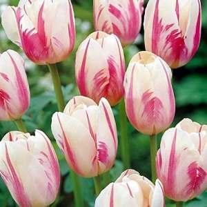 Tulipe Simple Tardive Sorbet – 10 bulbes de fleurs