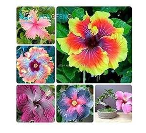 Xiton de Graines Hibiscus Hibiscus Rosa-sinensis Graines de Fleurs Hibiscus Arbre de semences pour Les Plantes en Pot de Fleurs