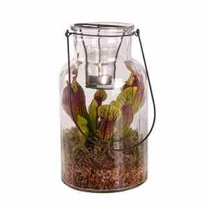 BOTANICLY | 2 × Plante de marais – Swampworld lanterne – bougie chauffe-plat – plante carnivore | Hauteur: 26 cm | Sarracenia